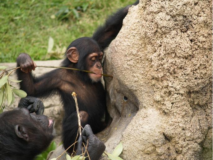 頭を使うチンパンジー