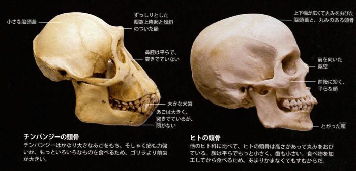 人類とサルの骨格